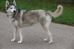 A Husky dog outdoors looking skeptical. Cute and a good friend Royalty Free Stock Photos