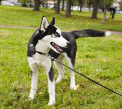 Husky dog outside on a leash walking, green grass in park Stock Images