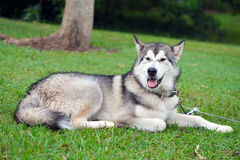 Husky dog in park Royalty Free Stock Image