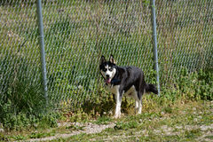 Husky at the dog park Stock Images