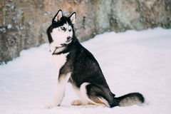 Husky Dog Play Sit In Snow. Winter Stock Photo