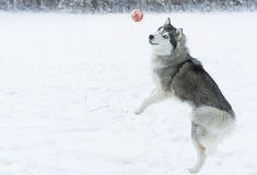 Husky dog playing stock photo