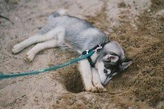 Husky. Dog playing on beach Stock Photography