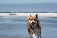 Husky Dog Playing at the Beach Stock Photos