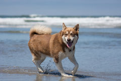 Husky Dog Playing at the Beach Stock Image