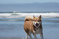 Husky Dog Playing at the Beach Stock Images