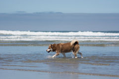 Husky Dog Playing at San Diego Dog Beach California. A Siberian husky sled dog playing in the ocean at San Diego Dog Beach, California stock image