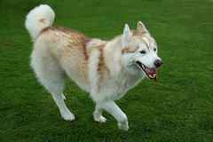 Husky Dog Playing on Green Grass Stock Photography
