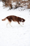 Husky dog playing in the snow Stock Photo