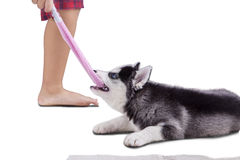 Husky dog playing a sock with boy Royalty Free Stock Images