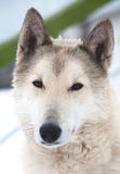 Husky dog portrait Stock Photography