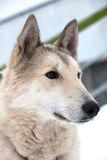 Husky dog portrait Royalty Free Stock Image