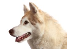 Husky Dog Portrait Royalty Free Stock Photos