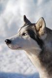 Husky dog portrait Stock Photography