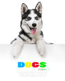 Husky dog portrait above white Royalty Free Stock Photos
