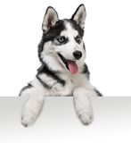 Husky dog portrait above white Stock Images
