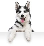 Husky dog portrait above white Royalty Free Stock Images