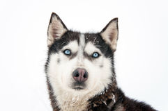Husky dog portrait Royalty Free Stock Photography