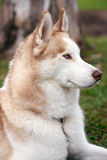 Husky dog portrait Stock Photos