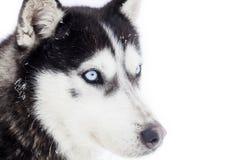 Husky dog portrait Stock Photo