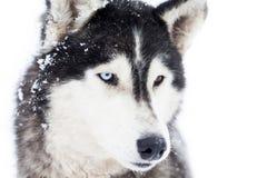Husky dog portrait Stock Image