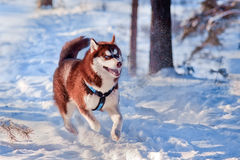Husky dog portrait Royalty Free Stock Photo