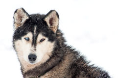 Husky dog portrait Royalty Free Stock Images