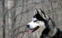 Husky dog profile portrait Royalty Free Stock Images