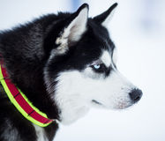 Husky dog profile side view portrait Royalty Free Stock Photography