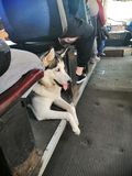 Husky dog in public transport stock images