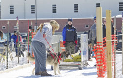 Husky at Dog Pulling Sled Competition Stock Photo