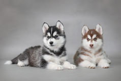 Husky Dog Puppies Royalty Free Stock Image