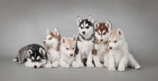 Husky dog puppies. Six Husky dog puppies portrait Stock Photography