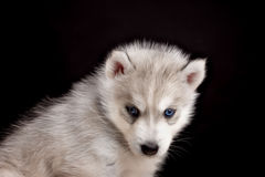 Husky dog puppy one month old in  black background Stock Photos