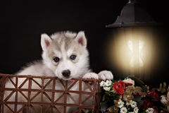 Husky dog puppy one month old in  black background Royalty Free Stock Photos