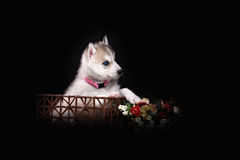 Husky dog puppy one month old in  black background Stock Image