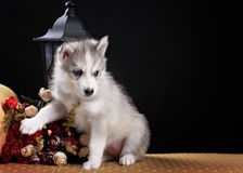 Husky dog puppy one month old in  black background Stock Photo