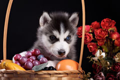 Husky dog puppy one month old in  black background Royalty Free Stock Photography