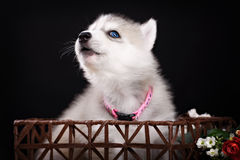 Husky dog puppy one month old in  black background Royalty Free Stock Image