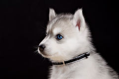Husky dog puppy one month old in  black background Stock Photography