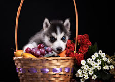 Husky dog puppy one month old in  black background Royalty Free Stock Photo