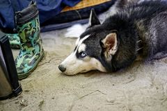 Husky dog put his head. On the sand and stares up.Black and white Siberian husky with a wistful glance lies between the scattered things Stock Photos