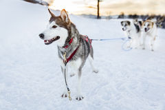 Husky dog ready for sledding in the cold winter Stock Photos