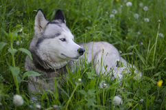Husky dog. Resting on the green grass Stock Images