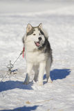Husky dog resting outside on snow Stock Images