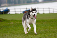 Husky Dog Running Royalty-vrije Stock Foto's