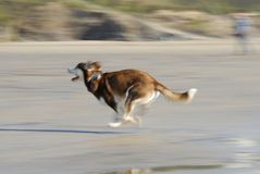 Husky Dog Running Fast on Beach. Stock Image
