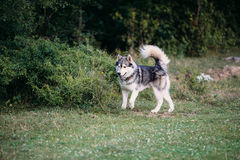 Husky dog running outdoors. Entertainment. River. Young dog sitting on the grass outside. Stock Photos