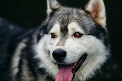 Husky dog running outdoors. Entertainment. River. Young dog sitting on the grass outside. Stock Photo
