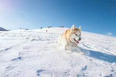 Husky dog running in snow Stock Image